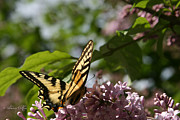 Blooms  Butterflies Posters - Papilio glaucus   Eastern Tiger Swallowtail  Poster by Sharon Mau