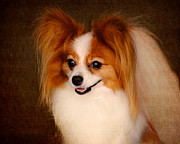 Dog Photo Posters - Papillon Poster by Jai Johnson