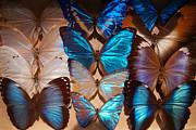 Papillon Print by Tim Nichols