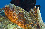 Osteichthyes Photos - Papuan Scorpionfish Lying On A Reef by Steve Jones