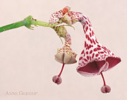 Anne Geddes Prints - Parachute Flower Print by Anne Geddes