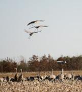 Diane Merkle - Parachuting Cranes