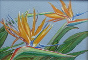 Bird Of Paradise Drawings - Paradise by Fran Haas