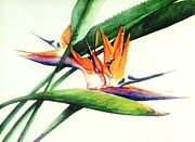 Bird Of Paradise Flower Painting Framed Prints - Paradise I Framed Print by Sandra Neumann Wilderman