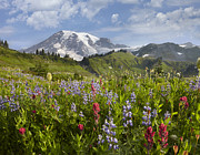 Mt Rainier National Park Art - Paradise Meadow And Mount Rainier Mount by Tim Fitzharris