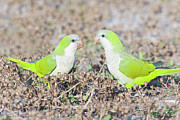 Monk Parakeet Metal Prints - Parakeet Metal Print by Alex Bramwell