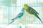 Captivity Posters - Parakeet Couple Kiss Each Other Poster by Lawren