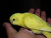 Arindam Raha - Parakeet Sitting on Hand