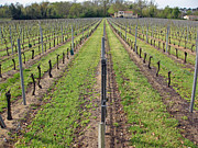 Merlot Photos - Parallel vines by Rod Jones