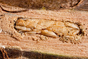 Feeds Photo Prints - Parasitized Ash Borer Larva Print by Science Source