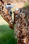 Giraffe Framed Prints - Parent-Child Relationship Framed Print by Yuri Peress