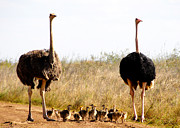 Ostrich Photos - Parenting by Paul Rains