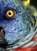 St. Lucia Parrot Prints - Parrot, Close Up Print by Axiom Photographic