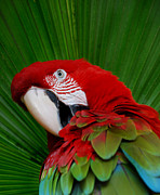 Red Photographs Framed Prints - Parrot Head Framed Print by Skip Willits