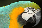 Parrot Metal Prints - Parrot Portrait  Metal Print by Richard Mann