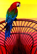 Bright Feathers Posters - Parrot Sitting On Chair Poster by Garry Gay