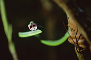 Animalsandearth Photos - Parrot Snake Leptophis Ahaetulla by Mark Moffett