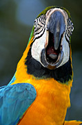Tropical Wildlife Posters - Parrot Squawking Poster by Carolyn Marshall