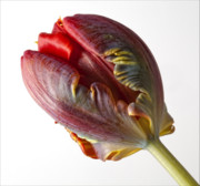 Flower Design Photos - Parrot Tulip 1 by Robert Ullmann