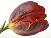 Parrot Tulip 2 Print by Robert Ullmann