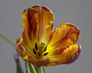 Parrot Tulip 22 Print by Robert Ullmann