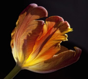Flower Design Photos - Parrot Tulip 27 by Robert Ullmann