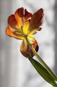 Flower Design Photos - Parrot Tulip 28 by Robert Ullmann
