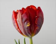 Parrot Tulip 3 Print by Robert Ullmann