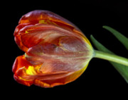 Flower Design Photos - Parrot Tulip 6 by Robert Ullmann
