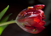Flower Design Photos - Parrot Tulip 7 by Robert Ullmann