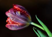 Parrot Tulip 8 Print by Robert Ullmann