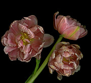 Fern Wood  Mitchell - Parrot Tulip