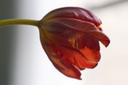 Flower Design Photos - Parrot Tulips 14 by Robert Ullmann