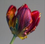 Parrot Tulips 15 Print by Robert Ullmann
