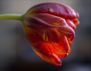 Flower Design Photos - Parrot Tulips 16 by Robert Ullmann