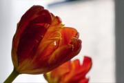 Parrot Tulips 18 Print by Robert Ullmann