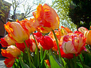 Phillie Posters - Parrot Tulips in Philadelphia Poster by Carol Senske