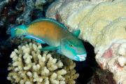 Animal Portraits Prints - Parrotfish With Coral Print by Tim Laman