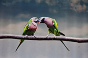 Kissing Posters - Parrots Poster by Ngkokkeong Photography
