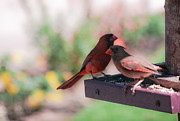 Male Cardinals Posters - Partners for Life Poster by DigiArt Diaries by Vicky Browning