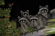 Raccoon Art - Party of Five on the Roof Top by Nina Prommer
