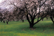 Trees Blossom Prints - Paso Robles Orchard Print by Kathy Yates