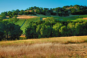 Vines Photo Framed Prints - Paso Robles Vineyard Framed Print by Steven Ainsworth