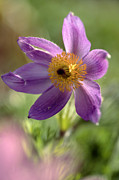 Pasque Flower Art - Pasque Flower (anemone Pulsatilla) by Dr Keith Wheeler