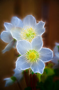 Pasque Flower Digital Art - Pasque Flower by Graham Prentice