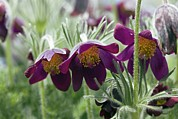 Pasque Flower Art - Pasque Flower (pulsatilla Sp.) by Dr Keith Wheeler