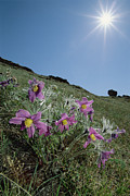 Pasqueflower Posters - Pasque Flower Pulsatilla Sp On Hillside Poster by Konrad Wothe