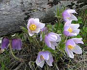 Pasqueflower Posters - Pasqueflower Bouquet Poster by Katie LaSalle-Lowery