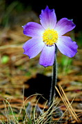 Pasqueflower Posters - Pasqueflower Poster by Merle Ann Loman