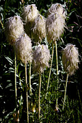 Pasqueflower Posters - Pasqueflower Seedhead Poster by David Patterson